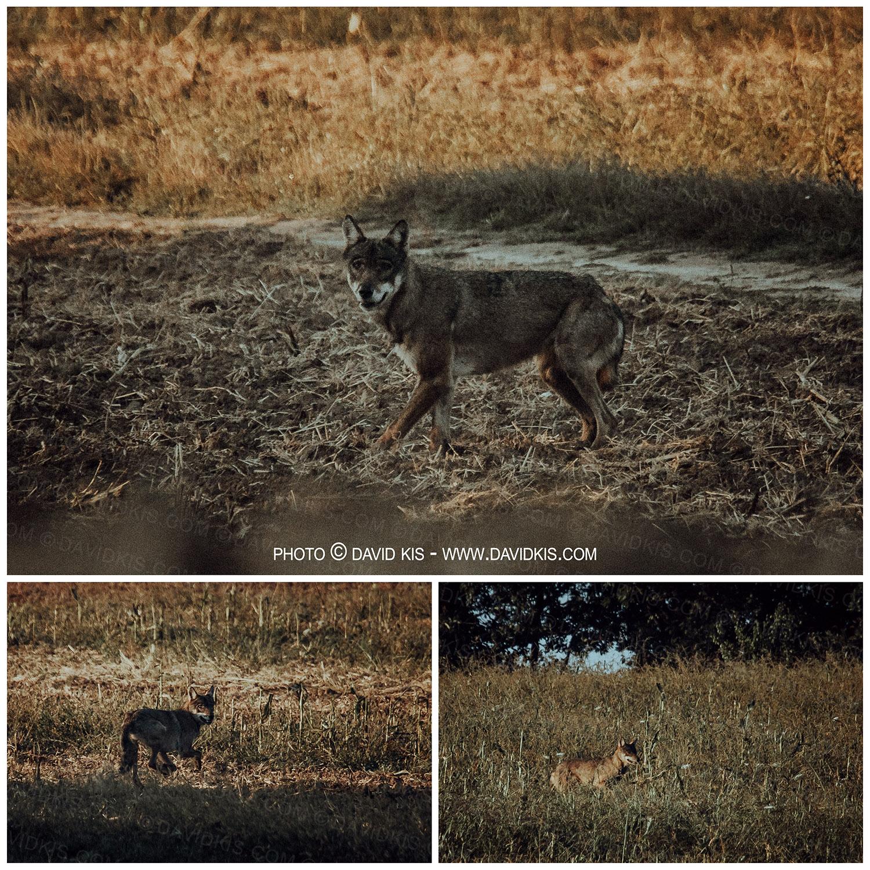 Szemtől szemben egy farkassal a Börzsönyben!